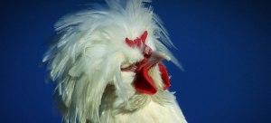 Rare-Chicken-Rescue_w